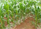 影响玉米产量的原因