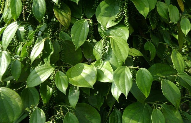 胡椒的种植前景