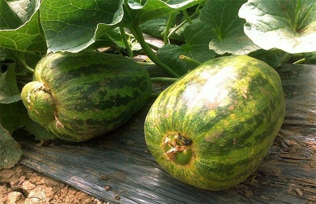 甜瓜产生畸形果的原因及防治方法