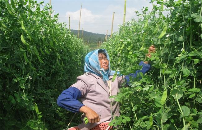 荷兰豆 注意事项 种植