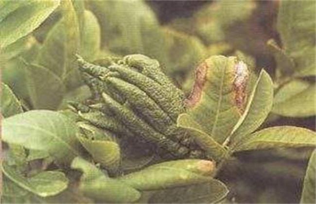 枸杞常见病虫害防治方法