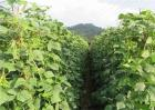 种植荷兰豆的日常管理