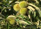 板栗空苞的原因及防治方法