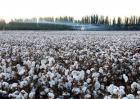 棉花追肥的要点