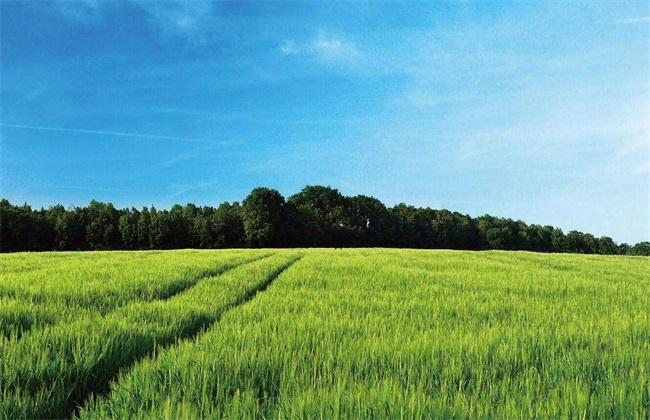 注意事项 小麦 种植