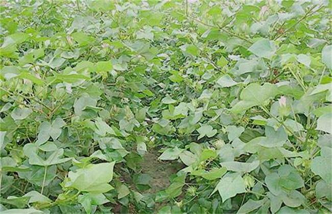 棉花疯长的原因及防治方法
