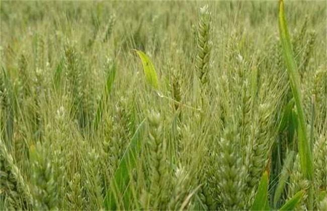 小麦早衰的原因及防治方法