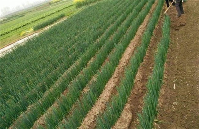 高产栽培 葱 技术