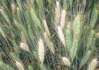 小麦白穗的原因及防治方法