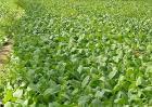 种植油菜的基本流程