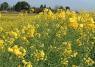 油花菜常见病害及防治