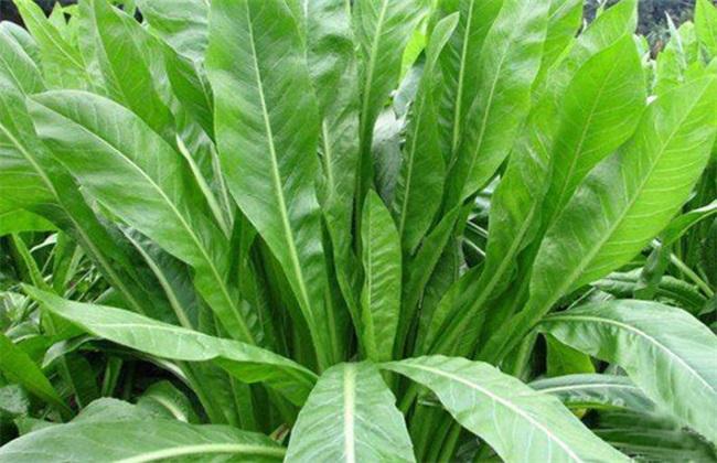菊苣的种植方法