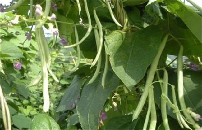 芸豆怎么施肥