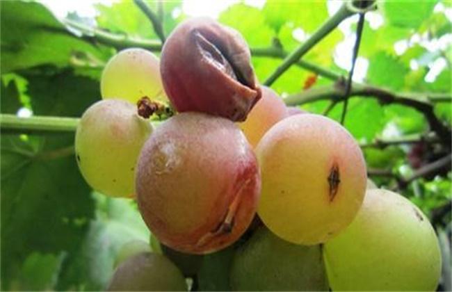 葡萄裂果的原因