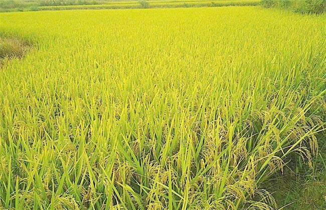 水稻夏季的田间管理