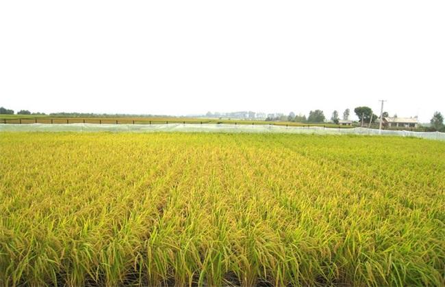 田间管理 水稻 夏季
