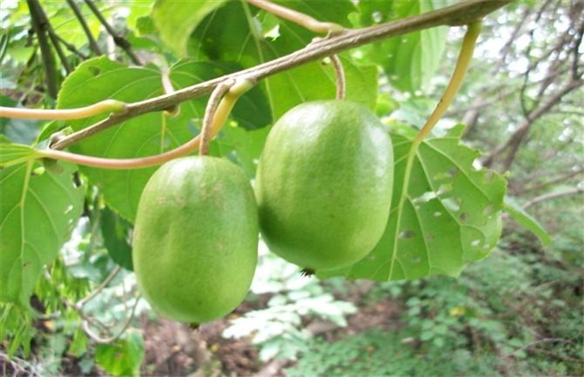 软枣猕猴桃种植注意事项