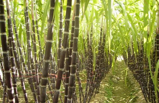 甘蔗 提高产量 方法
