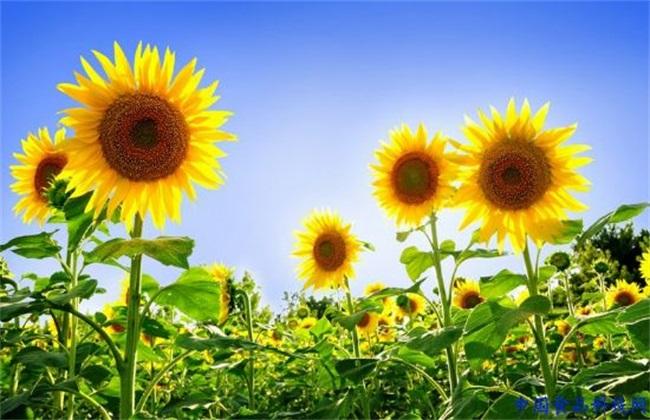 提高结实率 向日葵 方法