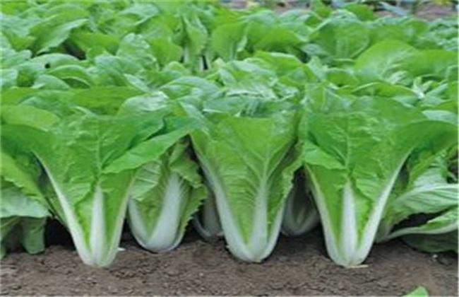 白菜 施肥规律 施肥方法