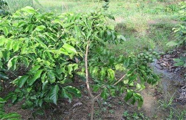 黄皮的种植条件