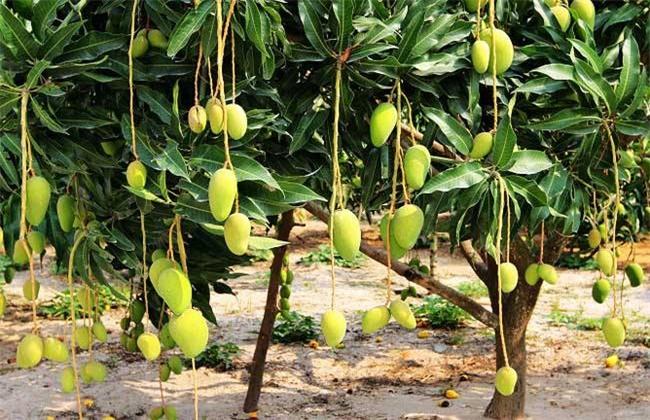 芒果落花落果的原因及防治方法