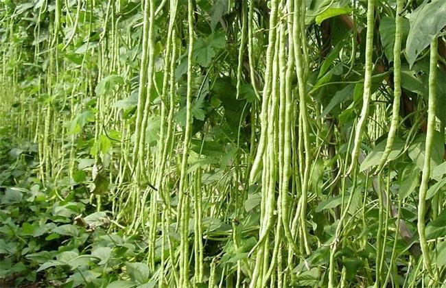 豆角 常见病虫害 防治方法