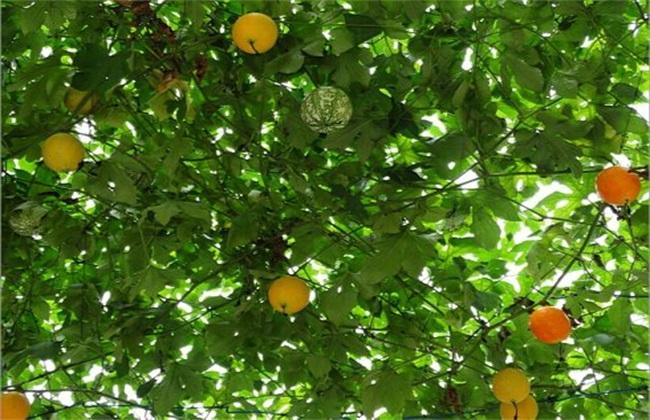 吊瓜 种植 方法