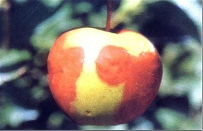 苹果烂果的原因及防治方法
