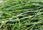 节节草的种植方法