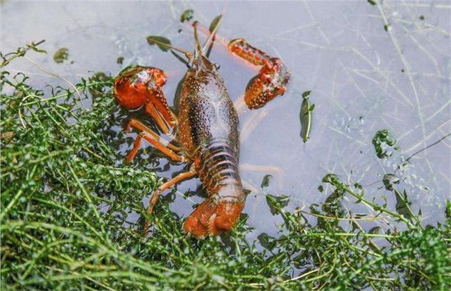 小龙虾缺氧的原因及解决方法