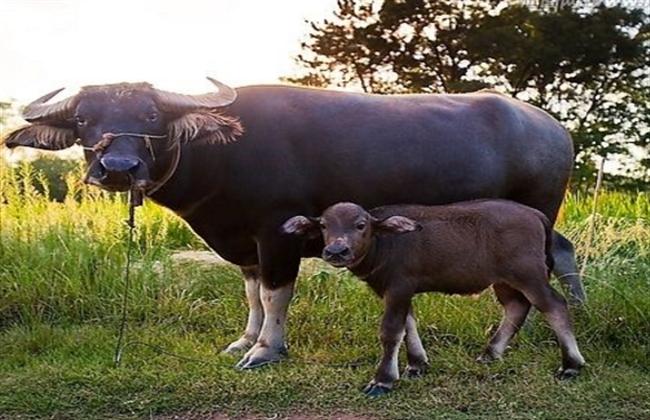 水牛养殖的注意事项
