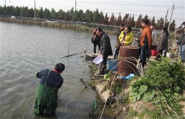 青虾的越冬管理技术
