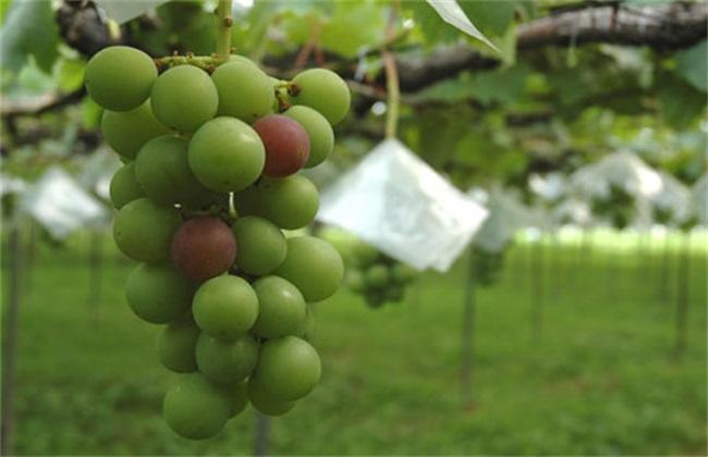 葡萄果园 采收后 管理方法