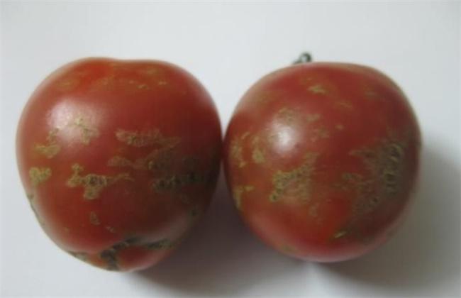 番茄花皮的原因及防治方法