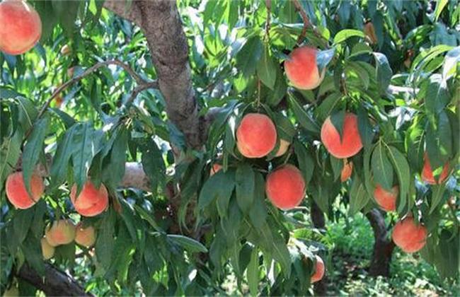桃子 提高品质 方法