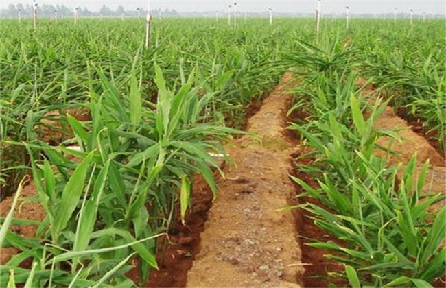 生姜的种植技术