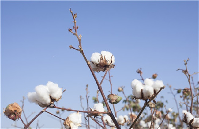 棉花 产量低 原因