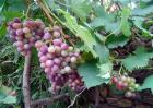 如何防止葡萄徒长