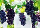 葡萄果园采收后的管理