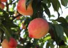 种植桃子如何提高品质