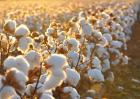 导致棉花产量低的原因