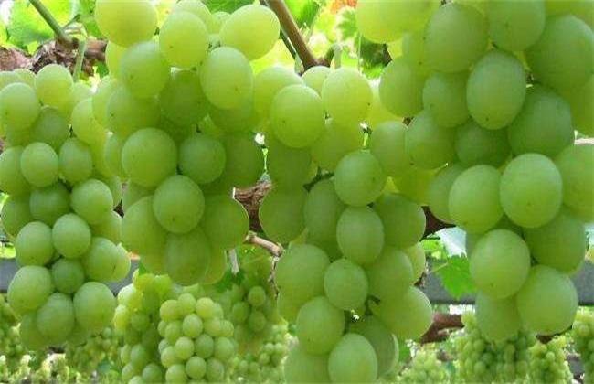 葡萄 热害 防治方法