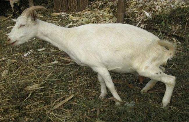 母羊产后瘫痪的原因及防治方法