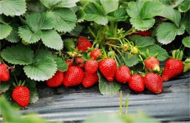 草莓种植2