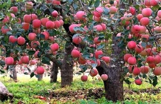 苹果树为什么会烂根
