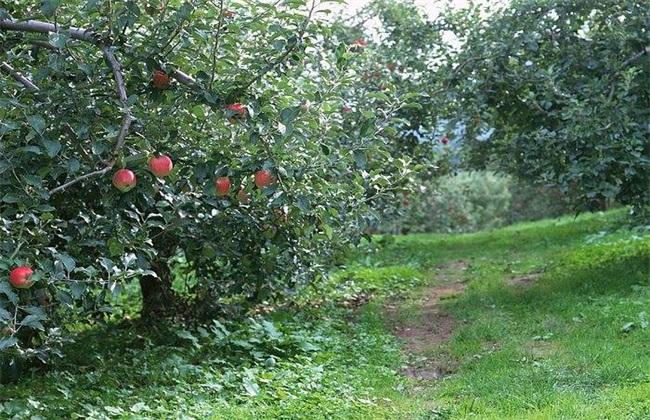 苹果树 烂根 原因