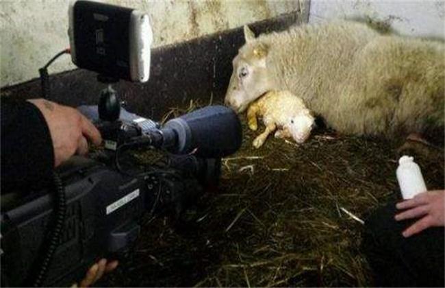 母羊难产的原因及处理方法