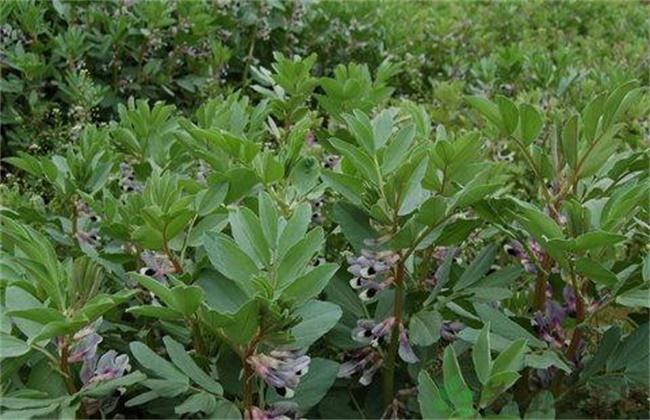 蚕豆缺钾的原因和解决方法