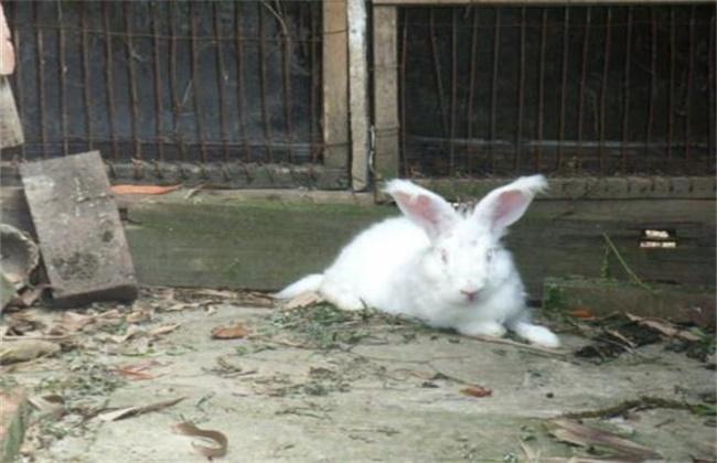长毛兔化胎的原因及防治方法